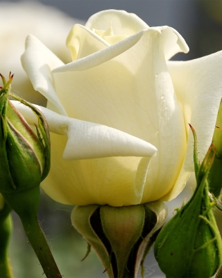 White Rose Closeup - Obrázkek zdarma pro 640x960