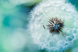 Dandelion Wallpaper for Android, iPhone and iPad
