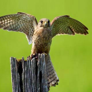 Hawk - Obrázkek zdarma pro iPad mini 2
