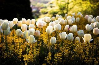 Free White Tulips Field Picture for Android, iPhone and iPad