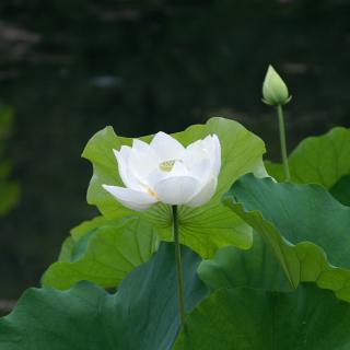 White Water Lily - Obrázkek zdarma pro iPad mini 2