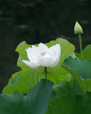 White Water Lily - Obrázkek zdarma pro Nokia X7