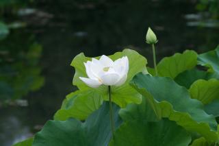 White Water Lily - Obrázkek zdarma pro Samsung Galaxy S5