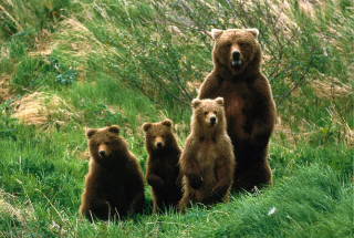 Bears Family Picture for Android, iPhone and iPad