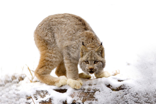Free Wild Lynx in Forest Picture for Android, iPhone and iPad