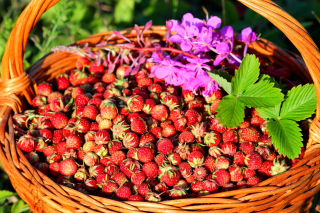 Wild Strawberry Background for Android, iPhone and iPad