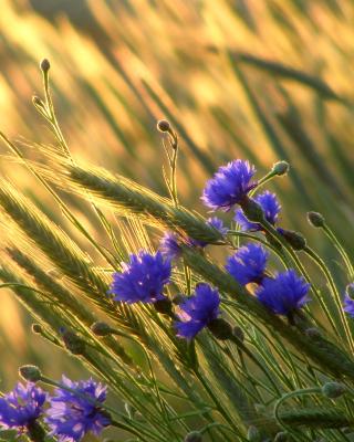 Cornflowers - Obrázkek zdarma pro 240x400