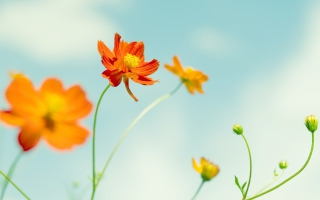 Free Cosmos Flowers Picture for Android, iPhone and iPad
