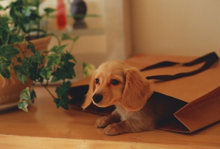 Puppy In Paper Bag Picture for Android, iPhone and iPad