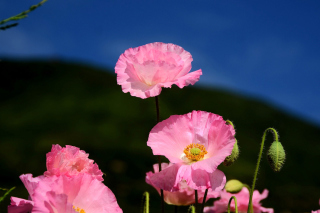 Pink Poppies Field Background for Android, iPhone and iPad