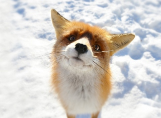 Foxy Picture for Android, iPhone and iPad