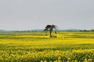 Yellow Meadow Landscape Wallpaper for Android, iPhone and iPad
