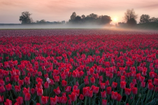 Red Tulip Field Background for Android, iPhone and iPad