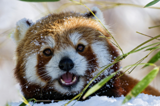 Red Panda Background for Android, iPhone and iPad