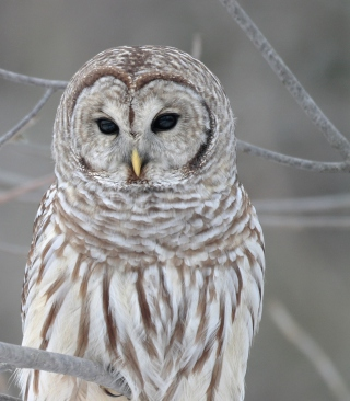 Owl - Obrázkek zdarma pro Nokia C2-05