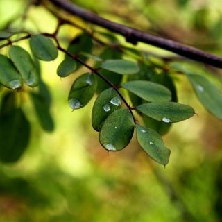 Macro Green Leaves - Obrázkek zdarma pro iPad 2