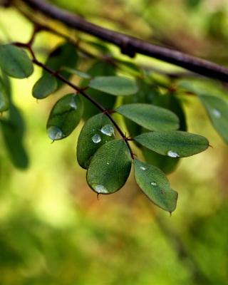 Macro Green Leaves - Obrázkek zdarma pro Nokia C2-01
