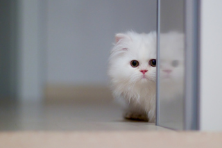 White Persian Kitten Background for Android, iPhone and iPad