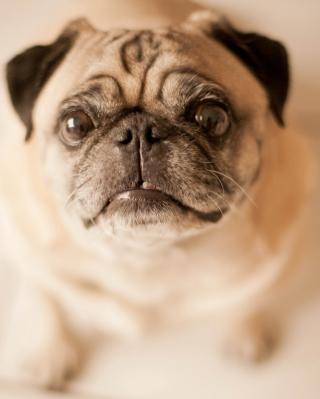 Cute Pug - Obrázkek zdarma pro 240x432