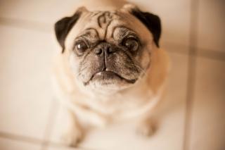 Cute Pug - Obrázkek zdarma pro Samsung Galaxy