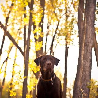 Dog in Autumn Garden - Obrázkek zdarma pro 208x208