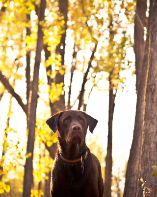 Dog in Autumn Garden - Obrázkek zdarma pro Nokia Lumia 520