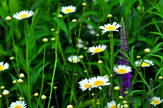 Daisies Field Wallpaper for Android, iPhone and iPad
