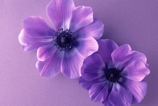 Violet Flowers Wallpaper for Android, iPhone and iPad