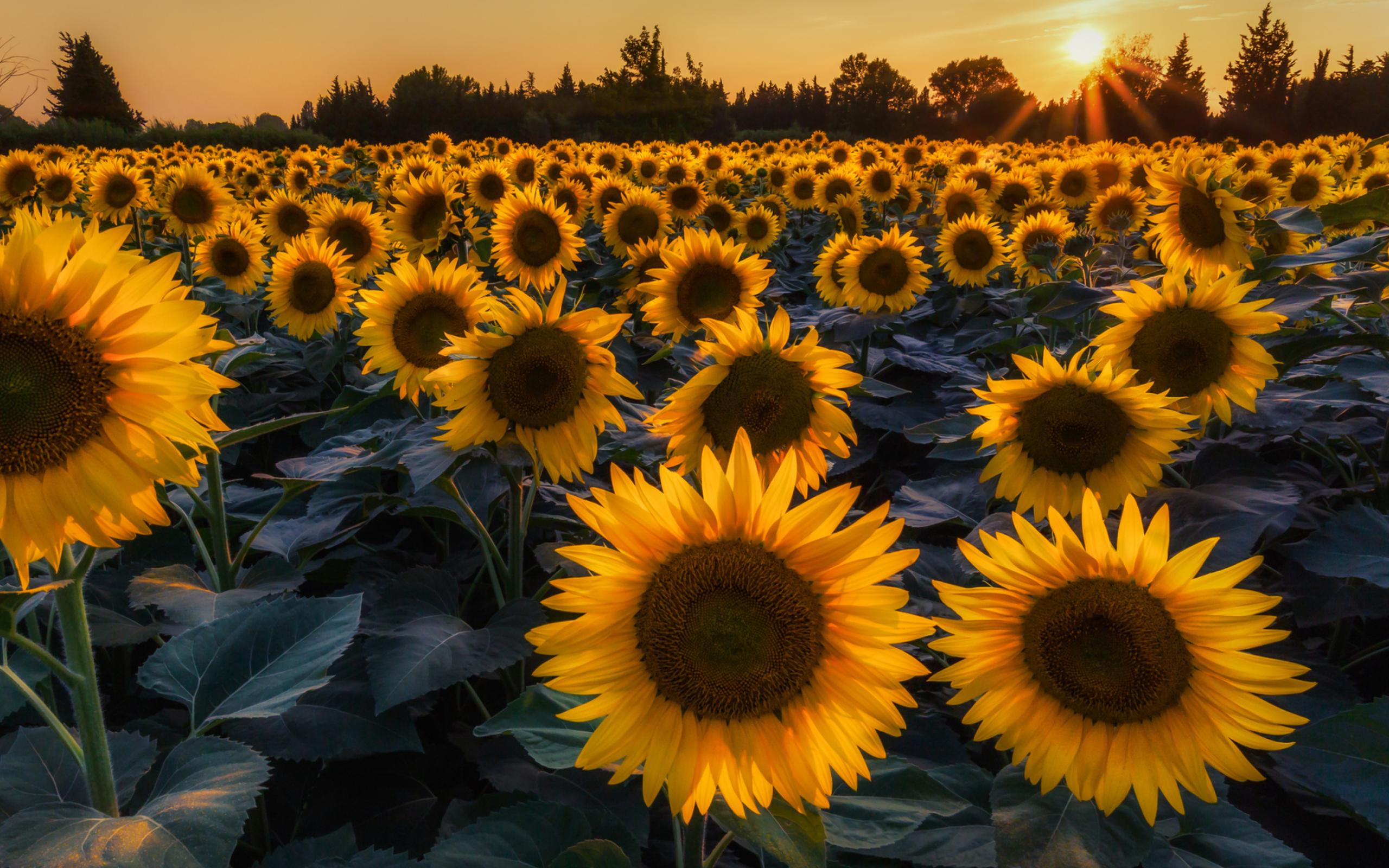 подсолнухи поле sunflowers field  № 419134 загрузить