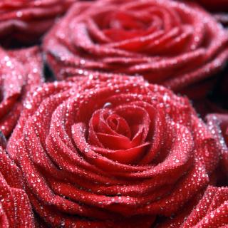 Macro Roses Dew - Obrázkek zdarma pro iPad 2