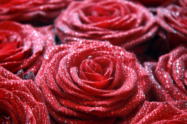 Macro Roses Dew wallpaper
