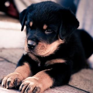Rottweiler Puppy - Obrázkek zdarma pro iPad