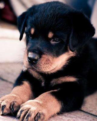 Rottweiler Puppy - Obrázkek zdarma pro 360x480