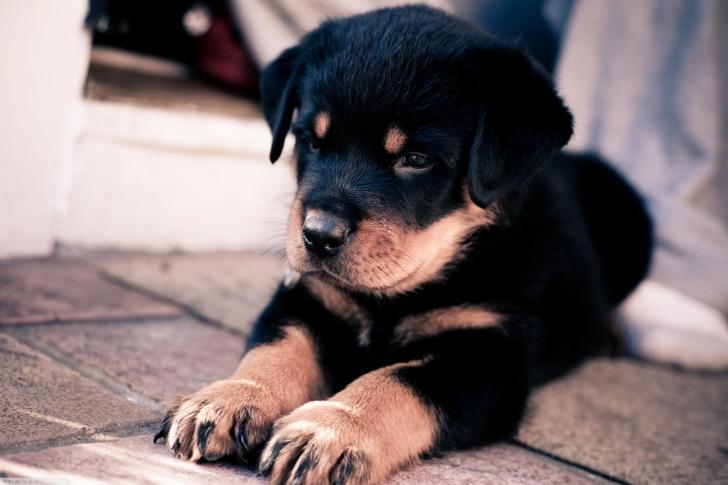 Sfondi Rottweiler Puppy