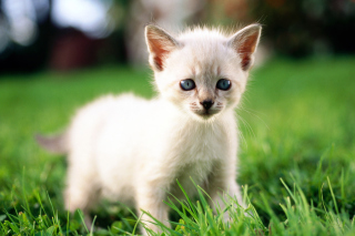 Free Thai Kitten Picture for Android, iPhone and iPad