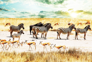 Wild Life Zebras Picture for Android, iPhone and iPad