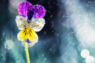 Pansy Flower Wallpaper for Android, iPhone and iPad