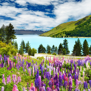 Lavender flowers in England - Obrázkek zdarma pro iPad 2