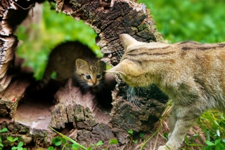Little Kitten Hiding From Mother Cat Wallpaper for Android, iPhone and iPad