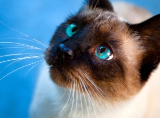 Siamese Cat With Blue Eyes Background for Android, iPhone and iPad