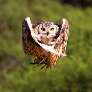 Owl Bird - Obrázkek zdarma pro 320x320