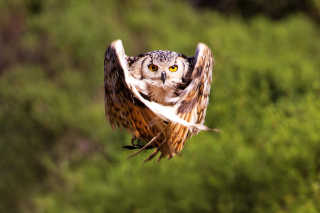 Owl Bird Picture for Android, iPhone and iPad