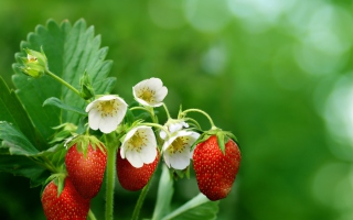 Free Strawberry Flowers Picture for Android, iPhone and iPad