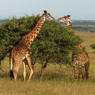 Giraffe in Duba, Botswana - Obrázkek zdarma pro iPad mini 2