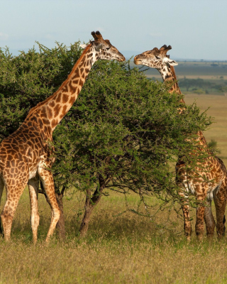 Giraffe in Duba, Botswana - Obrázkek zdarma pro Nokia Lumia 920