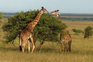 Giraffe in Duba, Botswana Background for Android, iPhone and iPad