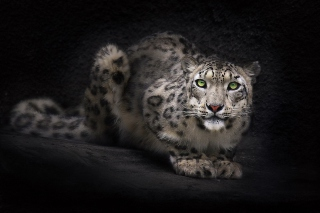 Snow Leopard Wallpaper for Android, iPhone and iPad