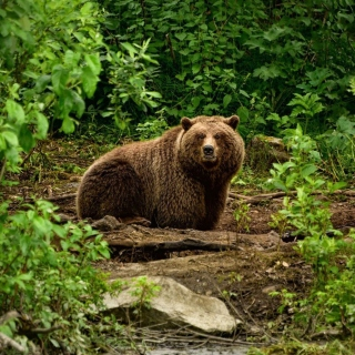 Bear Wildlife - Obrázkek zdarma pro 320x320