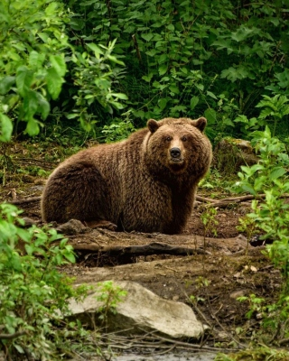 Bear Wildlife - Obrázkek zdarma pro Nokia X1-00