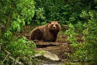 Bear Wildlife Background for Android, iPhone and iPad